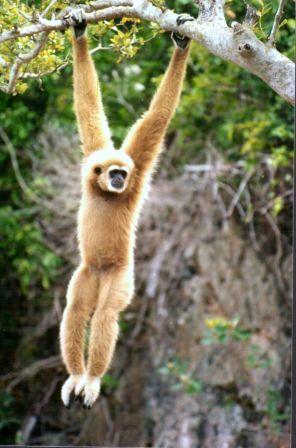 Gibbon_.jpg